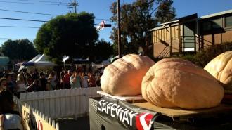 Crowds photograph pumpkins weighing over 1,000 pounds at Half Moon Bay's annual Art and Pumpkin Festival on Saturday October 18, 2014. (Miranda Shepherd/Peninsula Press)