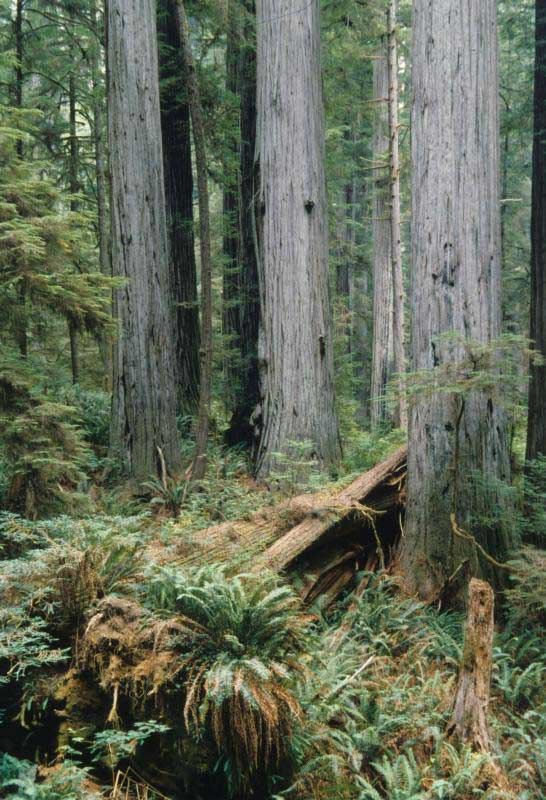 Ancient coast redwood forest. (Photo courtesy of National Park Service)