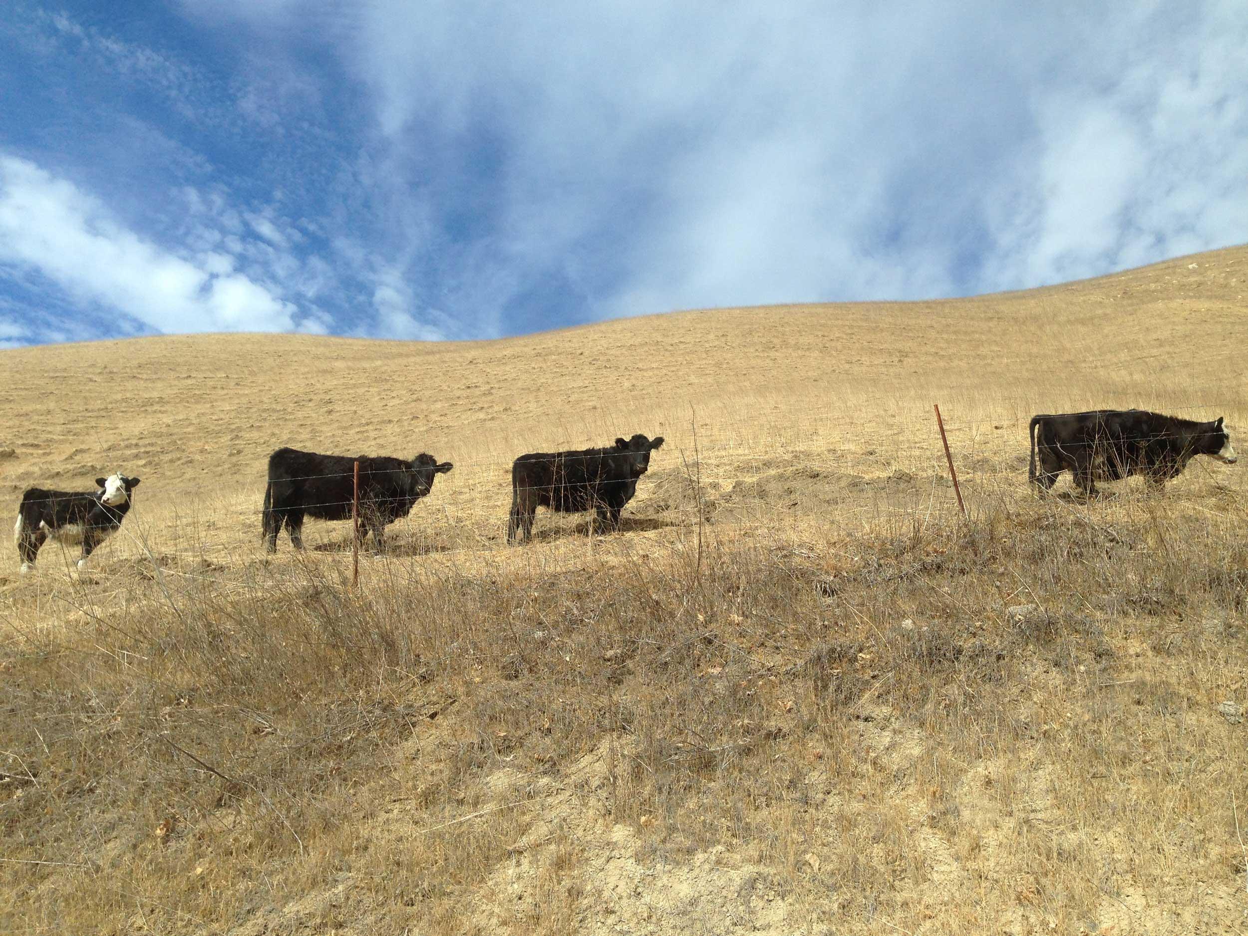 Some of the few remaining cattle in Bob Blanchard's Old Creek Ranch heard graze on a dry hillside.(Alex Blandino/Peninsula Press)
