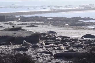 Elephant seals. (Aditi Banga/Peninsula Press)