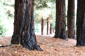 Redwood trees on Middlefield Avenue near Palo Alto, Calif.