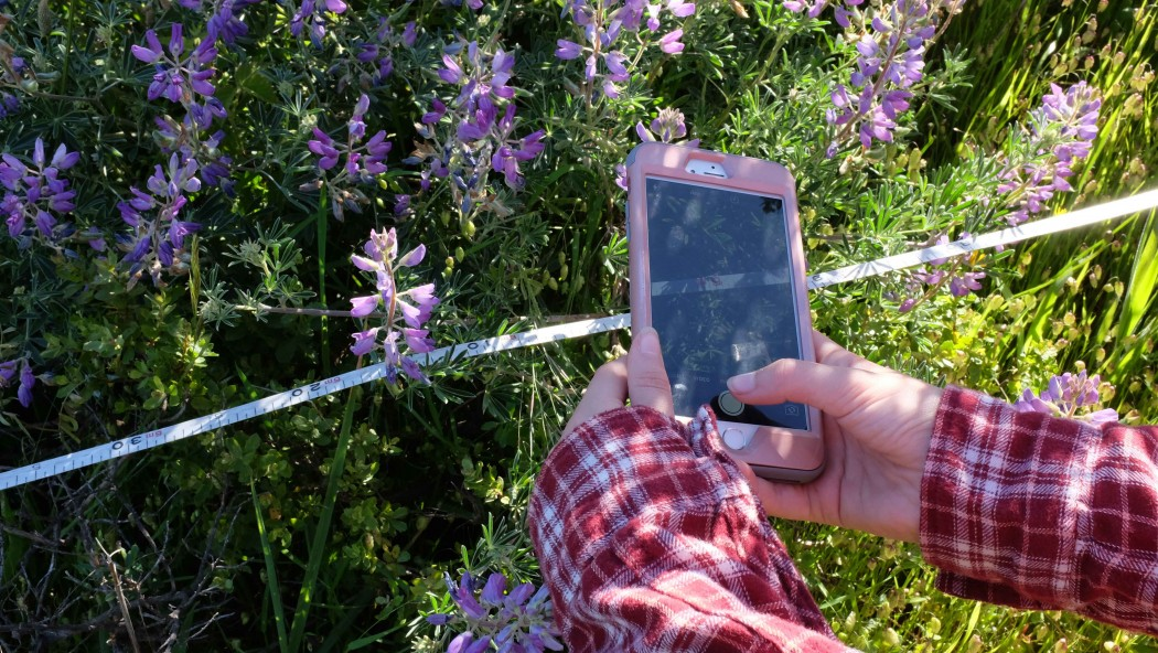 A citizen scientist documents a patch of Silver Lupine at the Homestead Valley Bioblitz on Saturday, April 29, 2017.  (Peter Arcuni/Peninsula Press)
