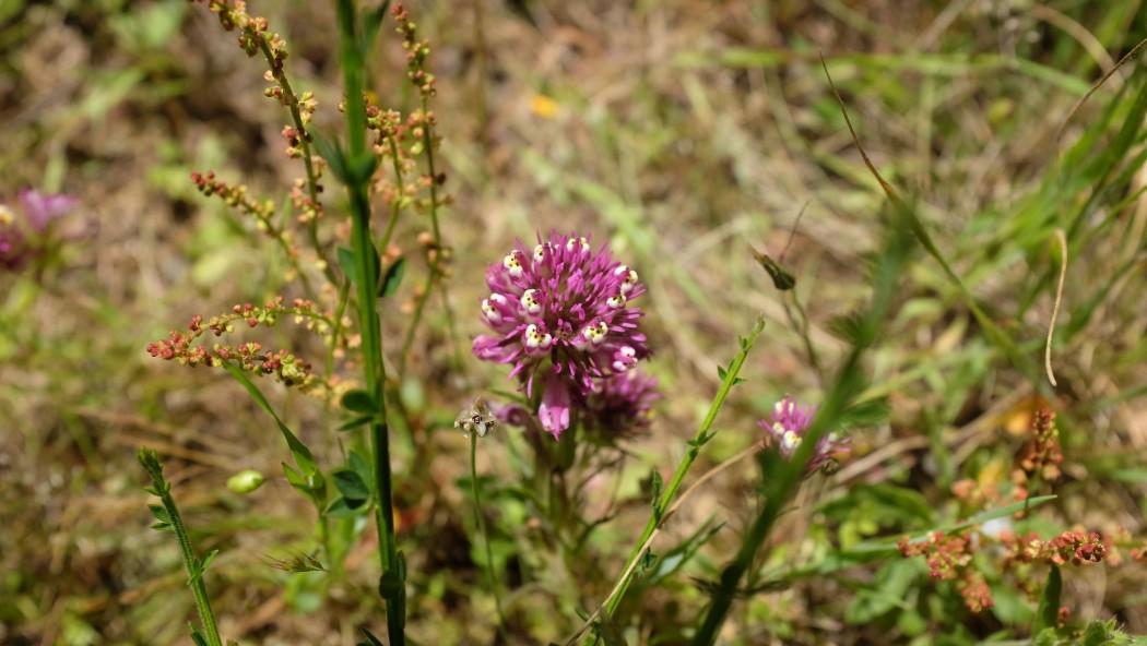 The flora of Homestead Valley, April 29, 2017. (Peter Arcuni/Peninsula Press)