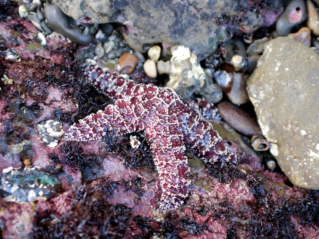 A healthy ochre star in the tide pools off California's Pillar Point in January 2017. (Peter Arcuni/Peninsula Press)