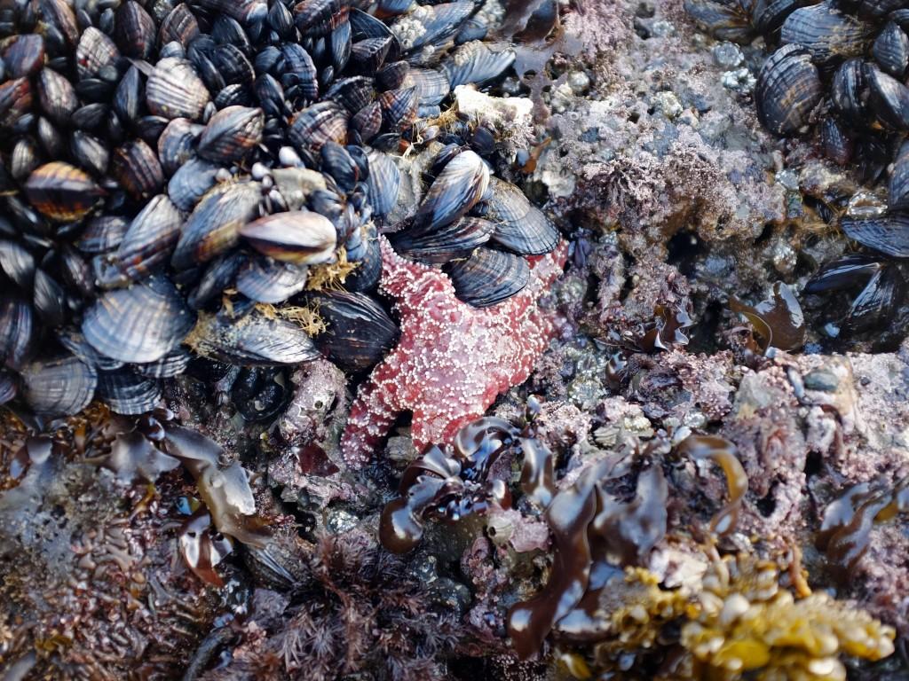 An ochre star feeding on mussels off California's Pillar Point in January 2017. (Peter Arcuni/Peninsula Press)