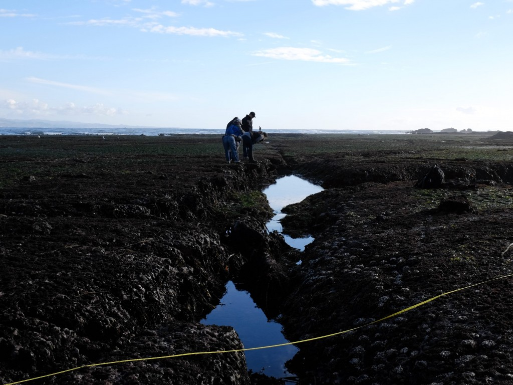 Citizens scientists from the California Academy of Sciences search for sea life in the tide pools off Pillar Point in January 2017. (Peter Arcuni/Peninsula Press)