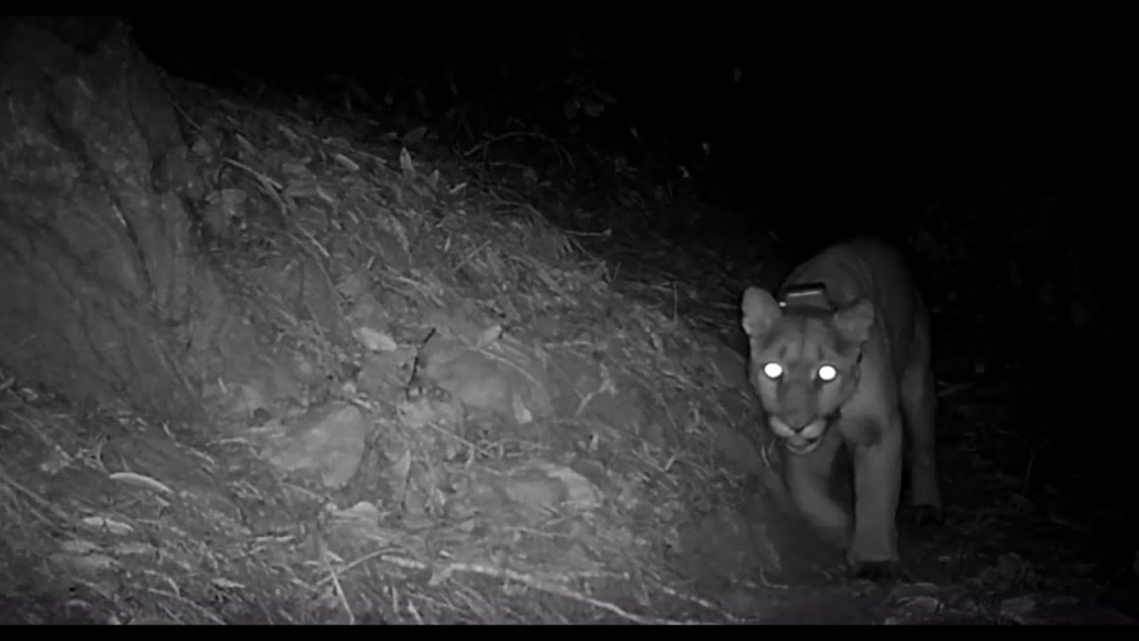 Trail cameras, social media share elusive life of Bay Area mountain lions