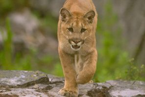 A mountain lion approaching in a wooded environment.