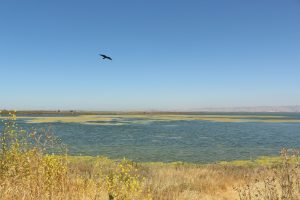 Crow over the South Bay Salt Ponds