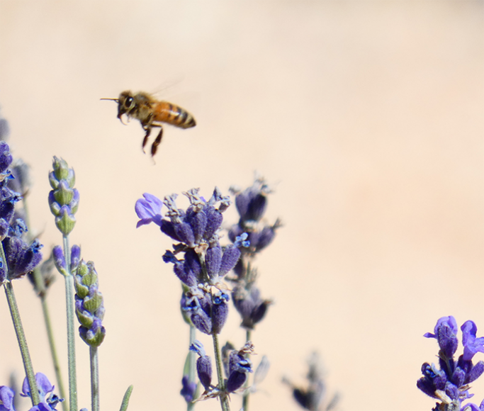 A honeybee flies over a lavender flower on Sunday, Oct. 13, 2019, at BeesNBlooms Farm in Santa Rosa, Calif. (Salma Loum/ Peninsula Press)