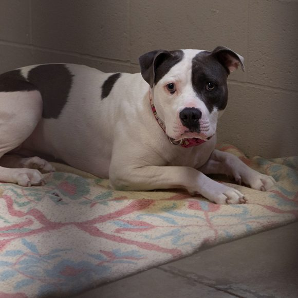 Bella, a female pit bull, displaced by the Kincade Fire in Sonoma County sits at the Sacramento SPCA adoption floor on Thursday, Oct. 31, 2019 in Sacramento, Calif. Bella was adopted Nov. 1 and looks happy with her new family. (Salma Loum/ Peninsula Press)