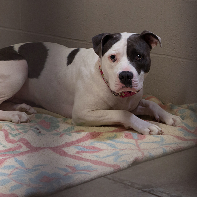 Bella, a female pit bull, displaced by the Kincade Fire in Sonoma County sits at the Sacramento SPCA adoption floor on Thursday, Oct. 31, 2019 in Sacramento, Calif. Bella was adopted Nov. 1 and looks <a href=