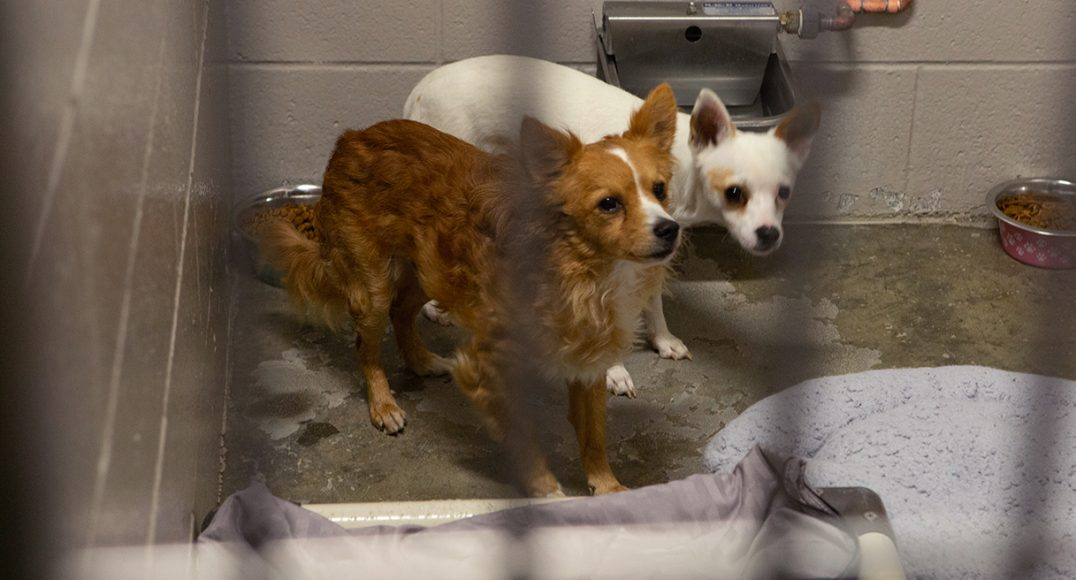 Little Man (right) and Peppy (left) stand in their kennel on Thursday, Oct. 31, 2019 in Sacramento, Calif. The animals were moved twice because of the Kincade Fire in Sonoma County. (Salma Loum/ Peninsula Press)