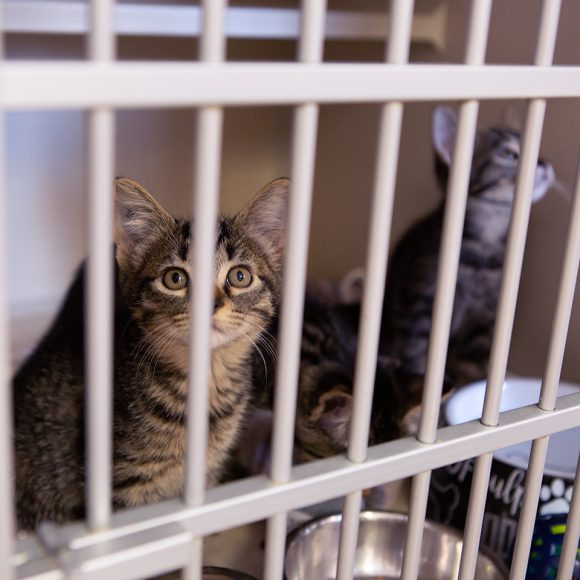 Adoptable kittens that were displaced twice by the Kincade Fire sit in a cage at the Sacramento SPCA  on Thursday, Oct. 31, 2019 in Sacramento, Calif. (Salma Loum/ Peninsula Press)