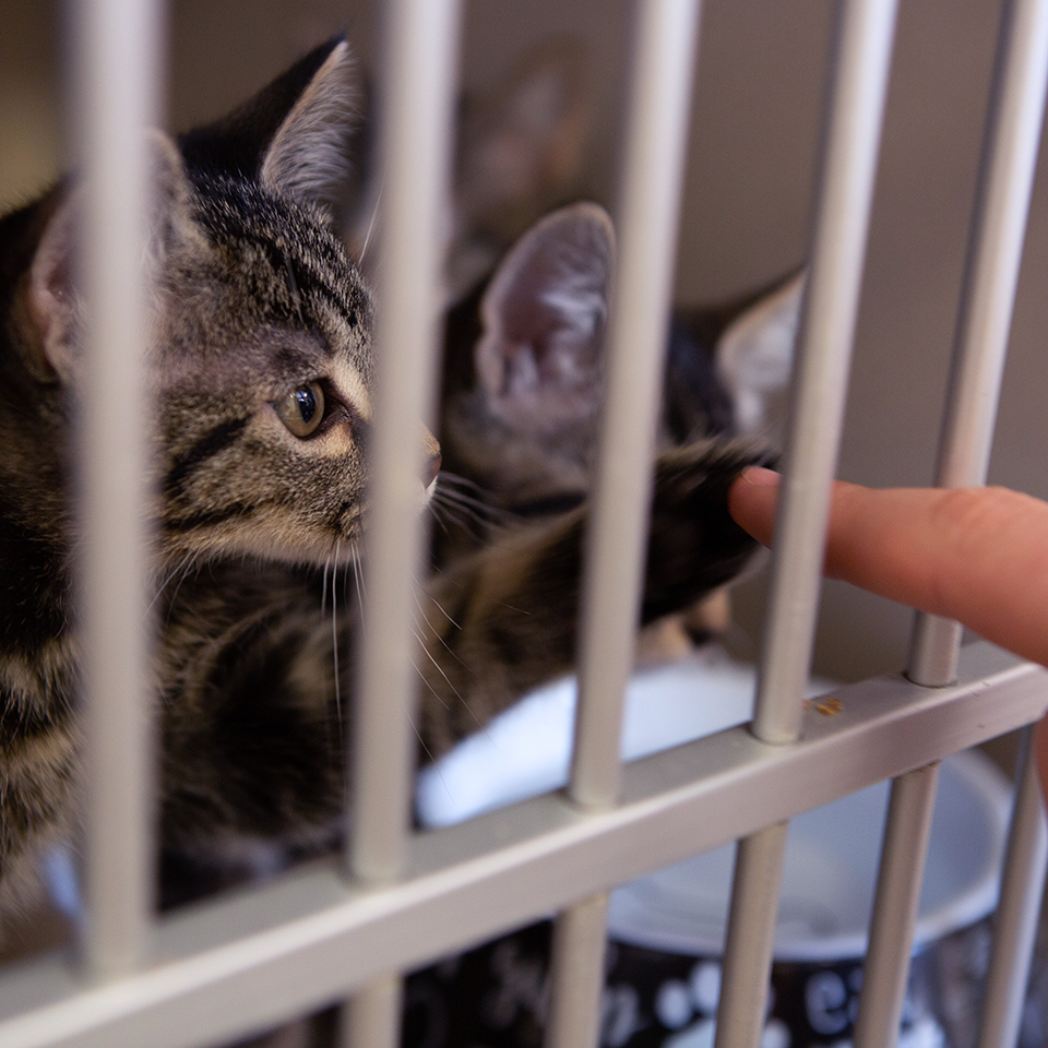 An adoptable kitten displaced by the Kincade Fire reaches with a paw through the kennel on Thursday, Oct. 31, 2019 in Sacramento, Calif. (Salma Loum/ Peninsula Press)