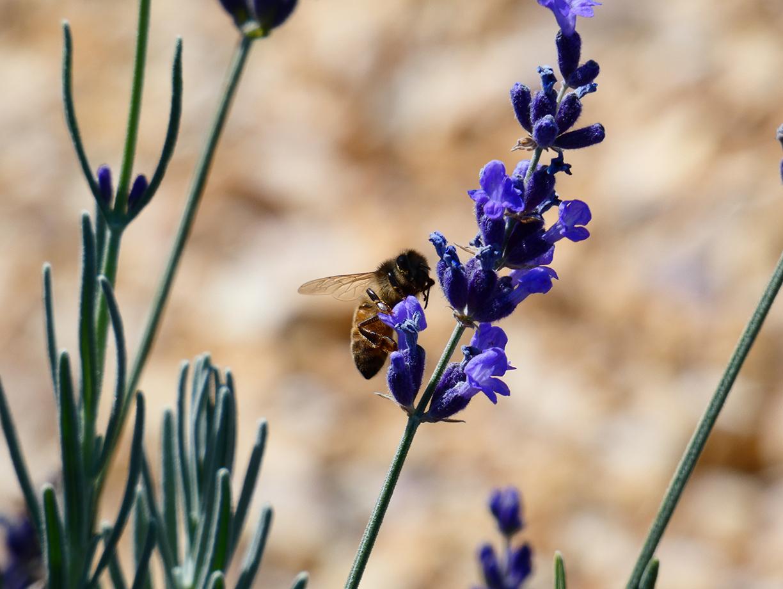 A honeybee flies  over a lavender flower on Sunday, Oct. 13, 2019 at BeesNBlooms Farm in Santa Rosa, Calif. (Salma Loum/ Peninsula Press)