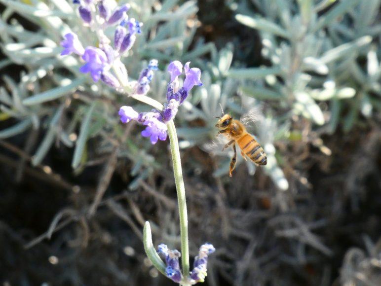 A honey bee flying over a lavender flower, Sunday, Oct 13th, 2019, BeesNBlooms Farm, Santa Rosa, Calif. (Salma Loum/ Peninsula Press)