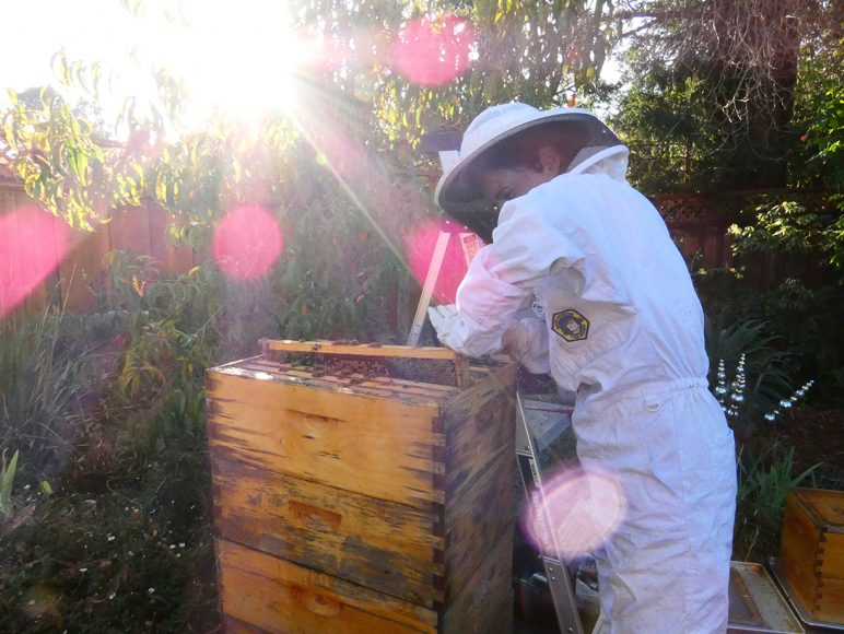 Beekeeper Tori Muir wears a protective suit in her backyard and carries a layer of her honeybee hive, Sunday, Oct 13, 2019 in Burlingame, Calif. (Salma Loum/ Peninsula Press)