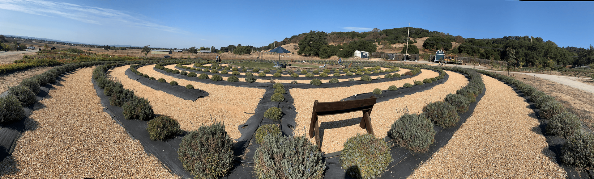A panorama captures an organic lavender labyrinth on Sunday, Oct 13, 2019 at BeesNBlooms Farm in Santa Rosa, Calif. (Salma Loum/ Peninsula Press)