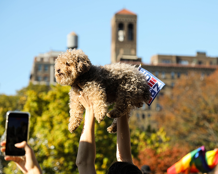 Overjoyed at the announcement, a woman holds her dog above the crowd in Washington Square Park in 'Simba-like' fashion with a Biden-Harris sign on Nov 8. (Iman Floyd-Carroll/Peninsula Press)
